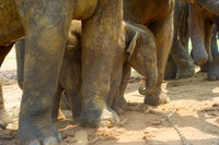 Pinnawala Elephants Orphanage baby elephant