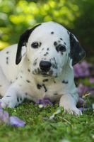 Dalmatiner Welpe, fuenf Wochen alt