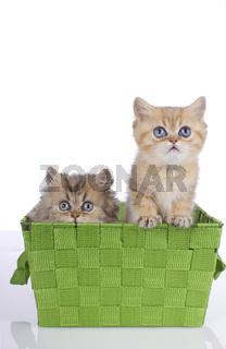 Süße Perser und Exotic Kätzchen