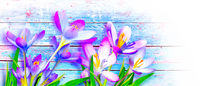 Blooming purple crocus flowers in a soft focus on a sunny spring day