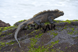 Meerechse (Amblyrhynchus cristatus), Unterart der Insel Isabela,