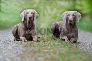 Zwei Weimaraner Jagdhunde