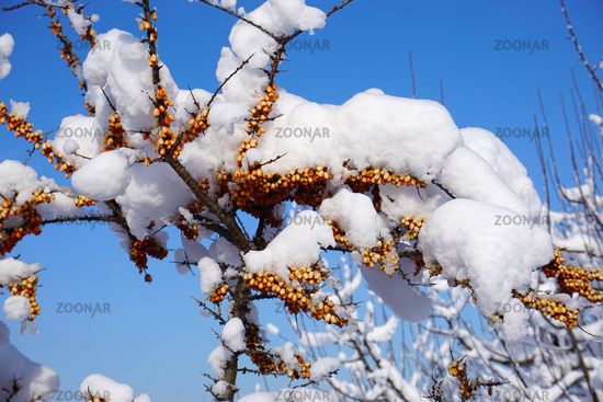 Sanddorn, Hippophae rhamnoides,  Fasanenbeere, Haffdorn, Seedorn im Winter mit Schnee