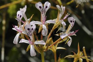 Pelargonium spinosum, Namakwaland, Südafrika