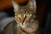 Portrait of young european shorthair cat