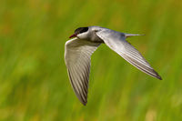 Common tern flying fast in green nature in summer