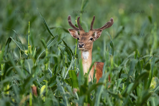 Fallow deer stag standing in corn field in summertime nature.