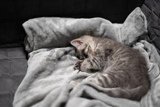 Sleeping cat, perfect dream. Animal child fell asleep. Beautiful little gray tabby kid cat of Scottish Straight breed sleeps sweetly on blanket at home. British breed new born kitten sleeping on sofa