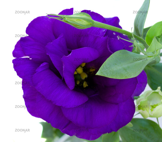 Eustoma flower close up