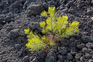 Junger Baum im Lavastrom