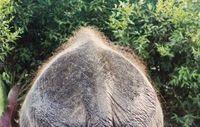 Back of Indian elephant, reduced coat