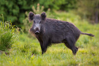 Hairy wild boar, sus scrofa, wandering through the forest grassland alone.