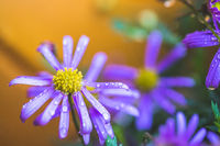 Purple flower after rain, wallpaper: Macro of water drops on purple blossom