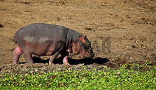 Junges Hippo im South Luangwa Nationalpark, Sambia; Hippo at South Luangwa, Zambia