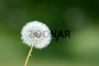 Löwenzahn (Taraxacum sect. Ruderalia) auf einer Wiese im Sommer
