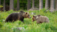 Pair of brown bear in mating season standing on a glade in summer forest