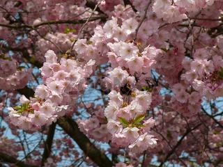 Prunus subhirtella Accolade, Japanische Zierkirsche, flowering cherry