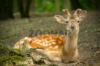 Deer lying in the park with new antlers