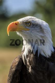 Angry Bald Eagle (Haliaeetus leucocephalus )