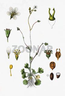 Der Knöllchen-Steinbrech Saxifraga granulata