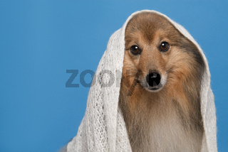 Portrait of a pretty shetland sheepdog wearing a white scarf on a blue background with space for copy