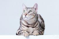Silver Bengal Cat in studio