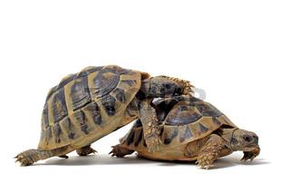 Tortoises having sex