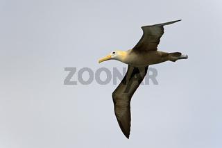 Galapagos Albatros (Diomedea irrorata), im Flug, Insel Espanola