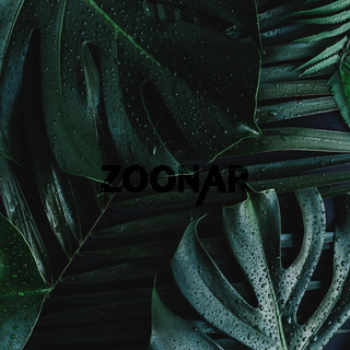Monstera palm green leaves on black background