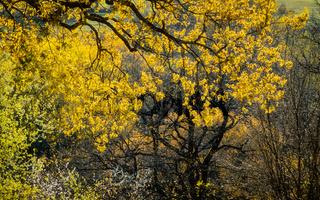 Beautiful yellow tree leaves, spring season
