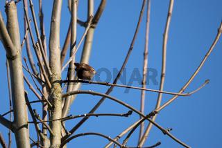 Tiny Wren (Troglodytes troglodytes) perched in a tree in wintertime