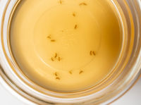 Fruit flies collected in a glass bowl with wine or cider vinegar and soap
