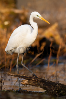 Great egret hunting in water in sunny vertical shot