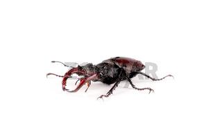 Insekt Hirschkäfer auf weißem Hintergrund
