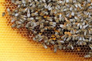 viele Honigbienen
