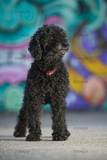 Poodle dog with colorful background