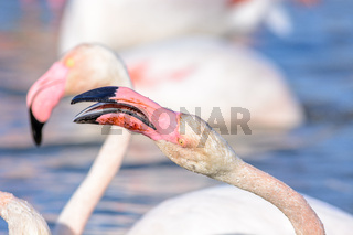 Portrait of a flamingo in a Camargue marsh.