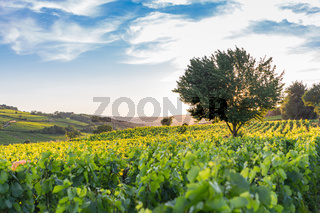 View over a vineyard in Pommard, France