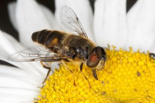 Bienen-Schwebfliege