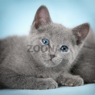 Kittens (breed 'Russian Blue') on the blue background