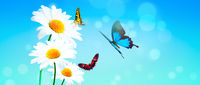 Scenery background of the natural blooming chamomile flower and butterflies.