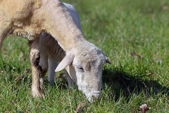 fressendes Schaf