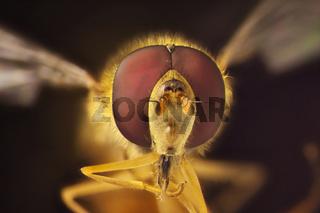 Mikrofoto einer Schwebfliege