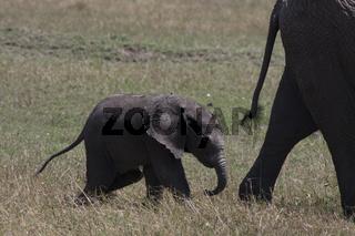 Elefantenbaby folgt seiner Mutter