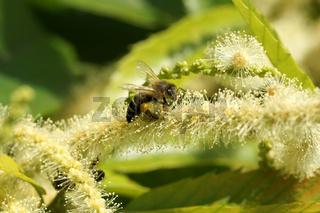 Castanea sativa, Edelkastanie, Sweet Chestnut