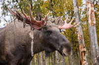 Moose or Elk - Alces alces - shedding velvet from its antlers