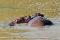 Two hippopotamus (Hippopotamus amphibius) submerged in water