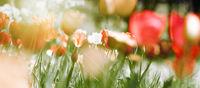 tulpen blumen gefärbt konzept karte