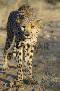 Gepard (Acinonyx jubatus), Khomas Region, Namibia, Afrika