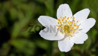 Buschwindröschen, Anemone nemorosa, thimbleweed, windflower, grove windflower, smell fox, wood anemone